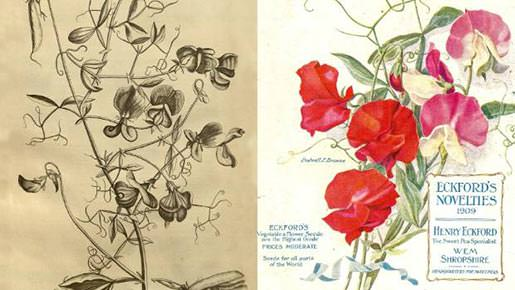 Caspar Commelin's sweet pea illustration; A 20th-century catalogue by sweet pea specialist Henry Eckford