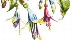 Illustration of Fuchsia excorticata by Denise Ramsay